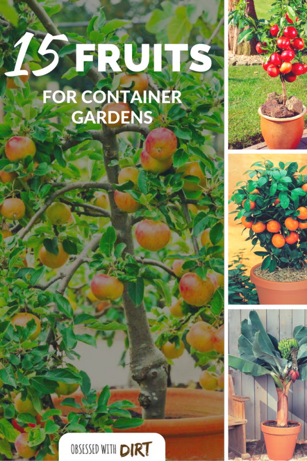 Container gardening fruit are surprisingly easy to grow, tasty and produce huge harvests of fresh tasty fruits for you and your family. Discover the 15 best container fruits to grow in your backyard vegetable garden today. #urbanorganicgardener #growsomethinggreen #thehappygardeninglife #homegarden