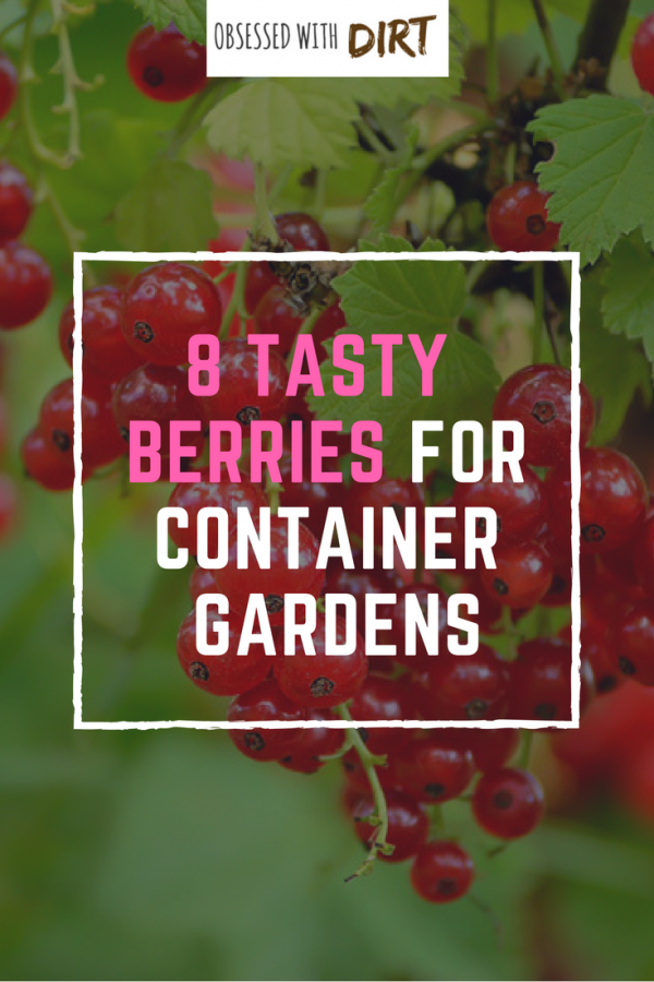 If you want the best tasting berries then check this blog out. I can't believe all 8 of these grow so well in containers. The flavor is unbelievable! These berries are so easy to grow that any beginner vegetable gardener can do it. You'll have tasty berries all year round - try it yourself... #thehappygardeninglife #growyourownfood #organicfood #gardentotable