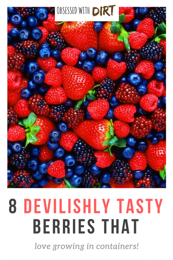 If you want the best tasting berries then check this blog out. I can't believe all 8 of these grow so well in containers. The flavor is unbelievable! These berries are so easy to grow that any beginner vegetable gardener can do it. You'll have tasty berries all year round - try it yourself...