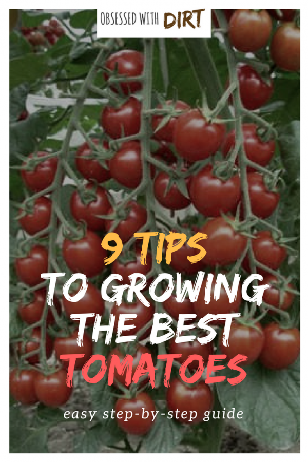 So you want to grow the best tomatoes this year? Well this guide reveals the 9 secrets used by expert tomato growers around the world. You'll learn exactly how to grow tomatoes with incredible flavor and productivity. #organicfood #growyourownfood #thehappygardeninglife #vegetablegarden