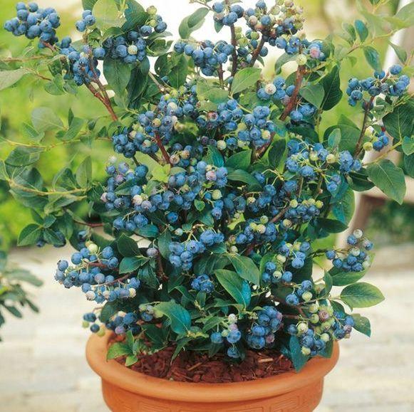 container gardening fruit blueberries