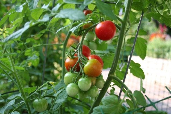 grow tomatoes in vegetable garden