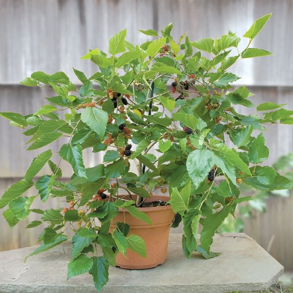 Mulberries in container vegetable gardening