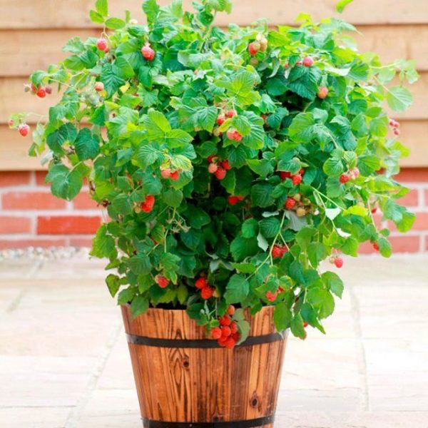 raspberries in container vegetable gardening