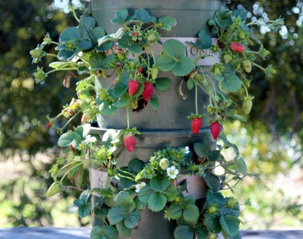 container gardening fruit strawberry