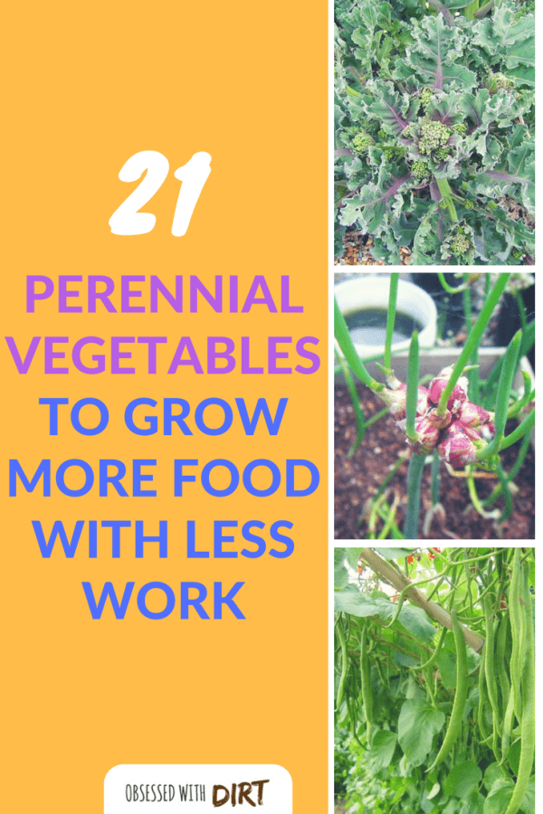 Perennial Vegetables are not known by many gardeners even though many already have them in their gardens. Basically, they are crops that can be planted once and harvested continuously for many years. #vegetablegarden #urbanorganicgardener #growyourownfood #growsomethinggreen
