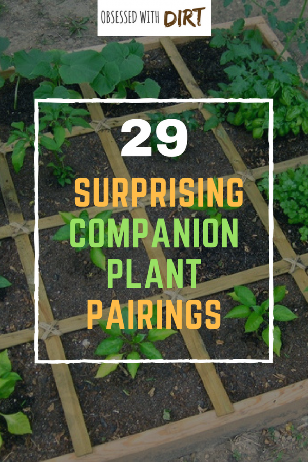Growing some vegetables side-by-side can have positive effects on one or both of the plants involved. This method of planting is called companion planting, as in, a companion who supports its partner. Companion gardening is incredible easy and a great way to reduce pests, increase pollination and improve your soil. #epicgardening #urbanorganicgardener #vegetablegarden #growsomethinggreen