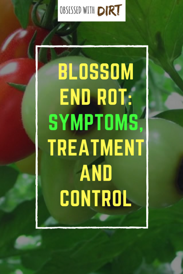 blossom end rot symptoms and treatment
