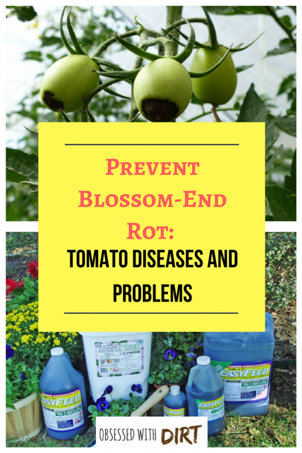 blossom end rot tomato diseases