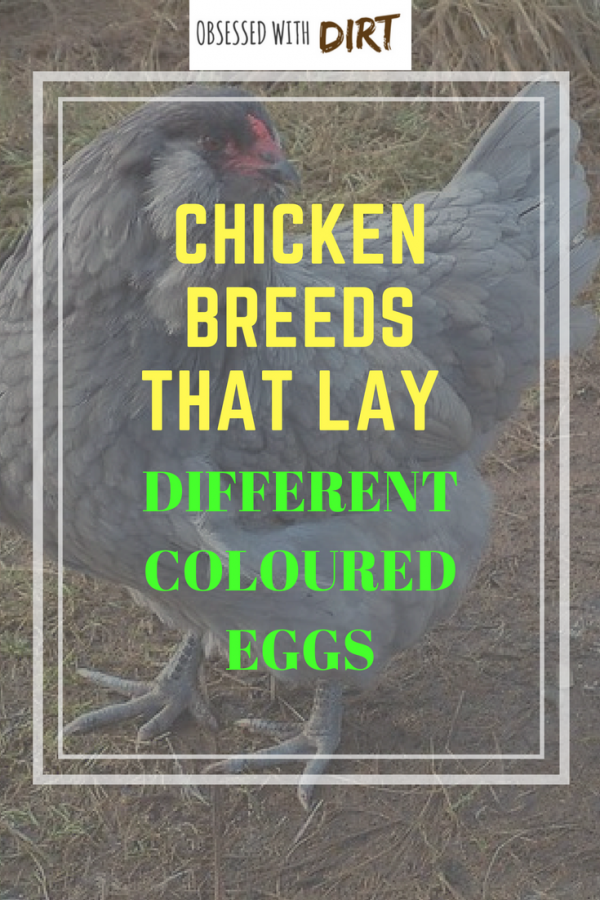 chicken breeds that lay different colored eggs