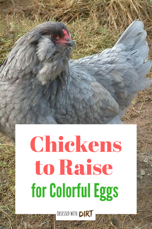 chickens to raise colorful eggs