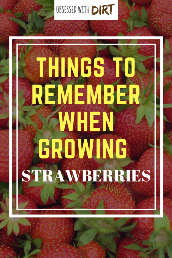 things to know about growing strawberries