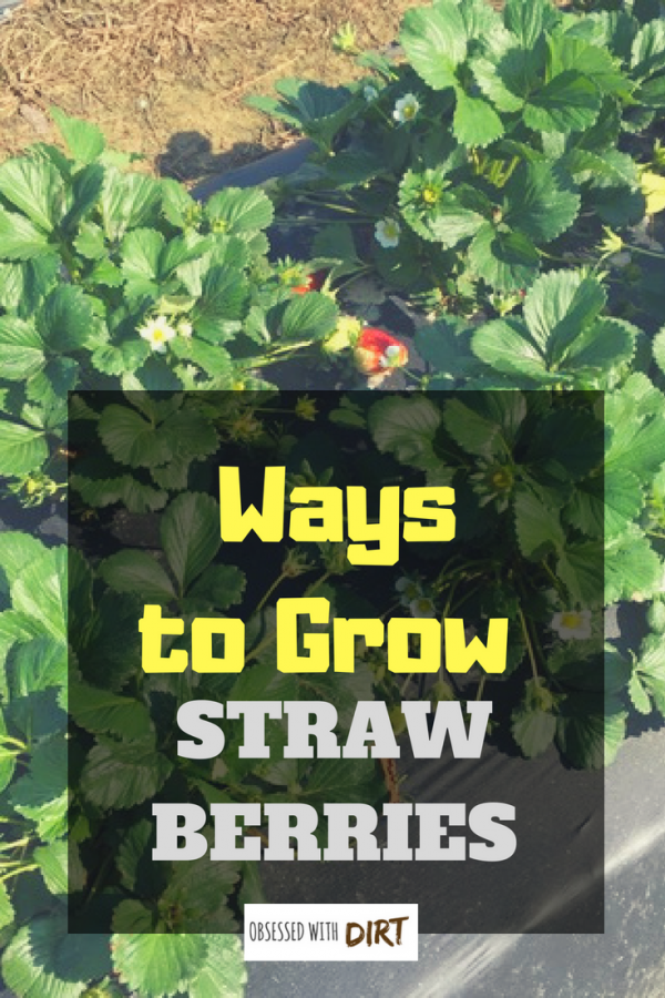 ways to grow strawberries