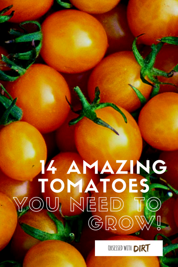 amazing tomatoes you need to grow